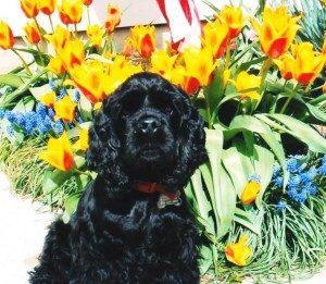 Zazu-in-front-of-tulips